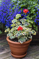 Variegated Leaf Geranium