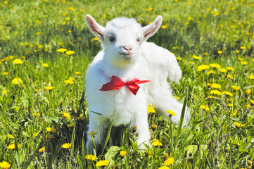 young baby goat with red bow-knot