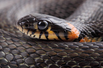 Head on grass snake. Close up