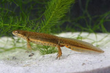 Common newt (Lissotriton vulgaris) in the pond