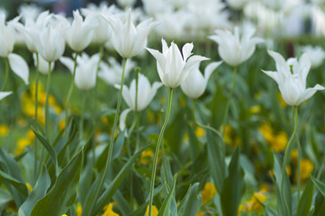 field of white tulips
