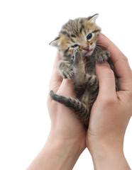 tabby kitten in hand