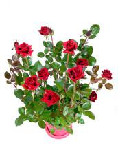 rosier rouge en conteneur