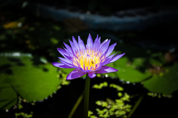 closeup of a beautiful purple lotus
