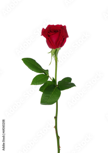 Fotobehang Rozen Red rose