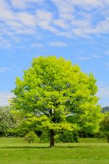 Quercia con fogliame giovanile - Quercus