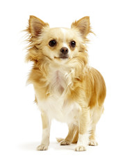 chihuahua standing on white background