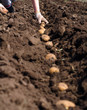 Women Sowing Potato, Seeding Process.