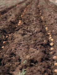 Sowing Potato, Seeding Process.