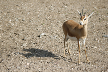 Deer / Ciervo