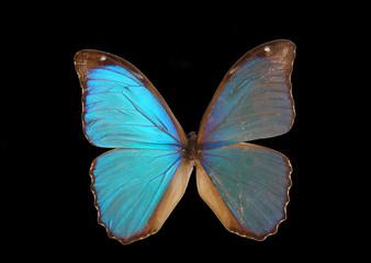 Papillon exotique bleu