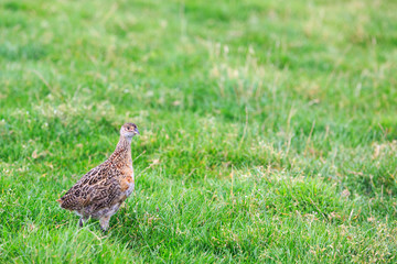 Pheasant female bird standing in grassland