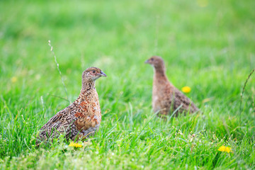 Two pheasant female bird standing in grassland
