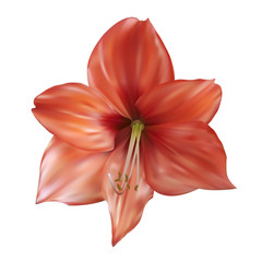 Lily flower. Vector illustration. Isolated on white