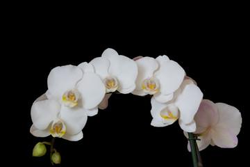 Viele weiße Orchidee Blüten