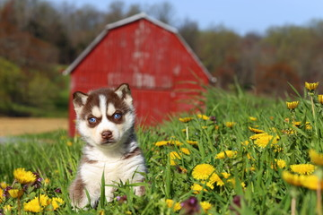 Siberian Husky Puppy Sitting in Field of Dandelions