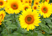 Belle photo de tournesols