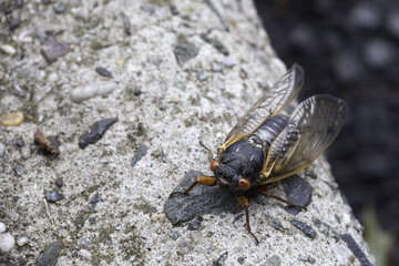 Cicada on the Curb