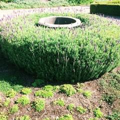 formal herb garden with lavender in flower