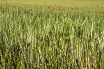 Il grano sta crescendo