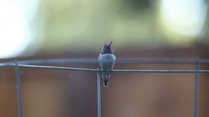 hummingbird undergoing molt perches on a tomato cage