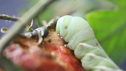 close up of tomato or tobacco hornworm eating a garden tomato