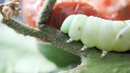 macro view of a large larva navigating a tomato plant