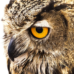 Closeup of a Royal owl isolated on white background