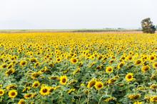 Close-up de la fleur du soleil