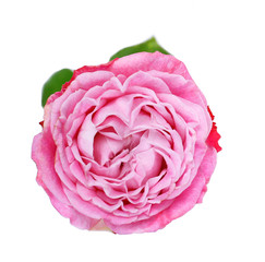 Beautiful rose flower isolated on white