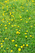 Beautiful dandelions in grass outdoors