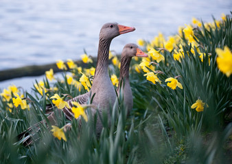 two geese on flowers background