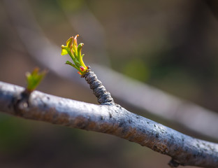 Green bud in spring. Selective focus.
