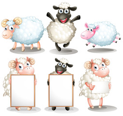 Sheeps and lambs with empty boards