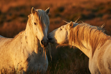 Two white horses of Camargue
