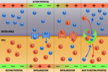 Nerve impulse action potential of neuron