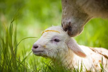 Neugeborenes Lamm mit Mutter