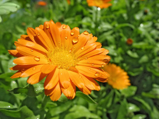 Calendula in raindrops