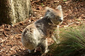 Koala walking on ground