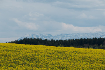 Raps field in Bavaria in front of snow covered Alps