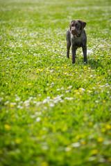 Puppy labrador black retriever dog portrait outdoor in a park wi