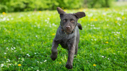 Puppy labrador black retriever dog portrait running outdoor in a