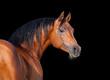 Arabian horse, isolated on black