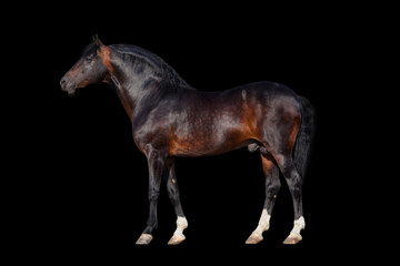 Dark bay horse - isolated on black background