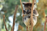 Koala sleep on an eucalyptus tree