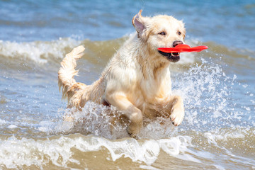 Golden Retriever am Strand