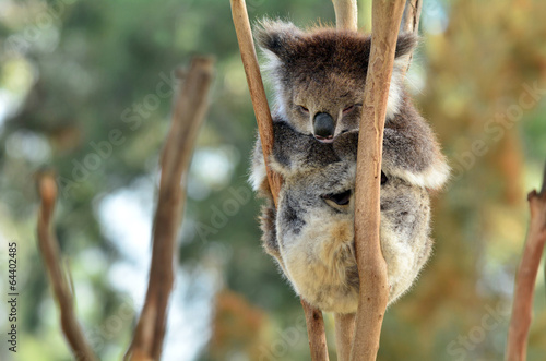 Fotobehang Koala Koala sleep on an eucalyptus tree