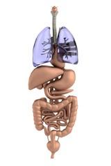 realistic 3d render of organs