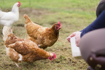 Domestic hens pecking at grain on the ground.