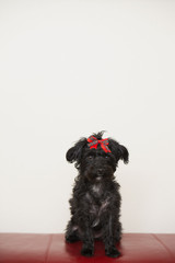 A black dog, a pet with a red bow on its head.